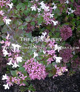 The greenery nursery and garden center abelia rosie creek mightylinksfo