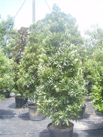 Anese Blueberry Tree